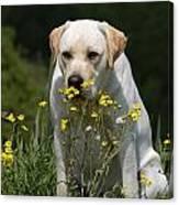 Yellow Labrador Retriever Dog Smelling Yellow Flowers  Canvas Print