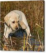 Yellow Labrador Retriever Puppy Standing In Water Canvas Print