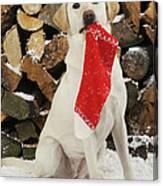 Yellow Labrador With Stocking Canvas Print