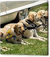Yellow Labs In Training Canvas Print