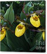 Yellow Lady Slippers On Forest Floor Canvas Print