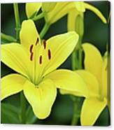 Yellow Lilly 8107 Canvas Print