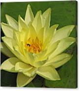 yellow lilly I Canvas Print