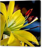 Yellow Lily Anthers Canvas Print