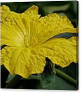 Yellow Luffa Blossom Canvas Print