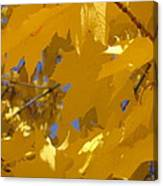 Yellow Maple Leaves Canvas Print