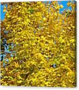 Yellow Maple Canvas Print