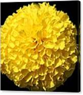 Yellow Marigold Canvas Print