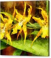 Yellow Miltassia Orchids Canvas Print