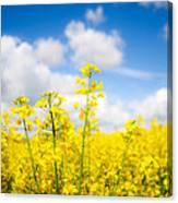 Yellow Mustard Field Canvas Print