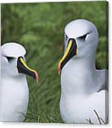 Yellow-nosed Albatross Pair Gough Island Canvas Print