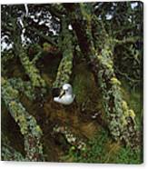 Yellow-nosed Albatrosses In Ferns Canvas Print
