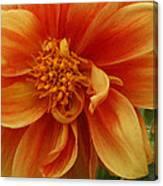 Yellow Orange Dahlia Canvas Print