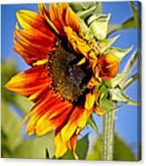 Yellow Orange Sunflower Canvas Print