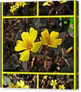 Yellow Oxalis - Oxalis Spiralis Vulcanicola Canvas Print