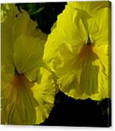 Yellow Pansies  Canvas Print