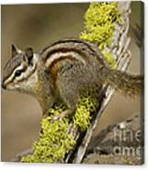 Yellow Pine Chipmunk Canvas Print