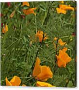 Yellow Poppies Dsc07460 Canvas Print