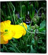 Yellow Poppy Xl Format Floral Photography Canvas Print