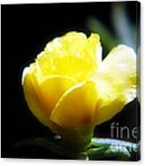 Yellow Primrose Canvas Print