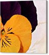 Yellow Purple Pansy Canvas Print