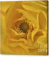 Yellow Ranunculus Canvas Print