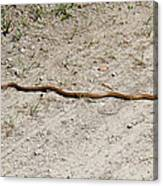 Yellow Rat Snake Canvas Print