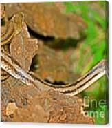 Yellow Rat Snakes Canvas Print
