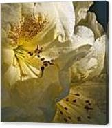 Yellow Rhododendron Canvas Print