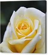 Yellow Rose - 1 Canvas Print