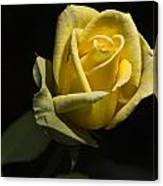 Yellow Rose 14 Canvas Print