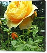 Yellow Rose And Buds Canvas Print