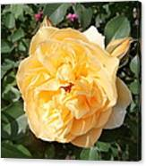 Yellow Rose And Two Rosebuds Canvas Print