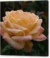Yellow Rose Kissed By Pink Fairy Canvas Print