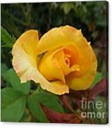 Yellow Rose Of Texas Canvas Print