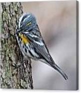 Yellow-rump Warbler Canvas Print