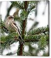 Yellow Rumped Evergreen Canvas Print