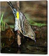 Yellow-rumped Warbler Drinking Canvas Print