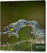 Yellow-rumped Warbler Feeding Young Canvas Print
