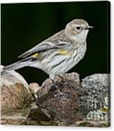 Yellow-rumped Warbler Hen Canvas Print