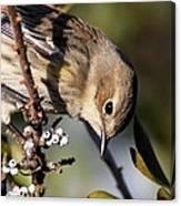 Yellow-rumped Warbler - Precious Canvas Print
