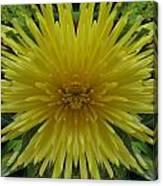 Yellow Spider Mum Canvas Print
