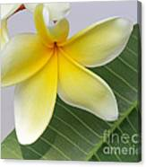 Yellow Star Plumeria Canvas Print