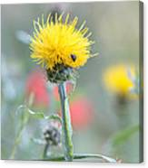 Yellow Star-thistle Canvas Print