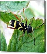 Yellow Stripped Beetle Canvas Print