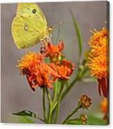 Yellow Sulphur Butterfly Canvas Print