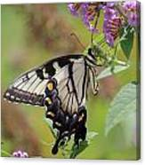 Yellow Swallowtail Butterfly Taking A Drink Canvas Print