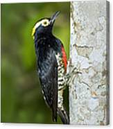 Yellow-tufted Woodpecker Canvas Print