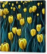Yellow Tulip Field Canvas Print