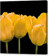 Yellow Tulip Triple Canvas Print